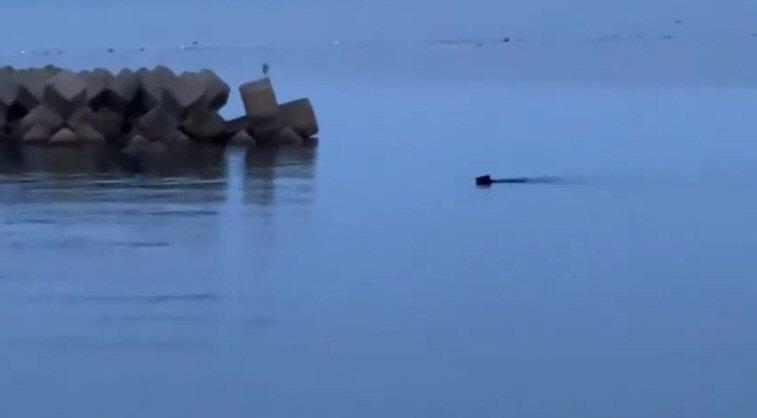 スクープ?熊が海を泳いで陸に上陸!