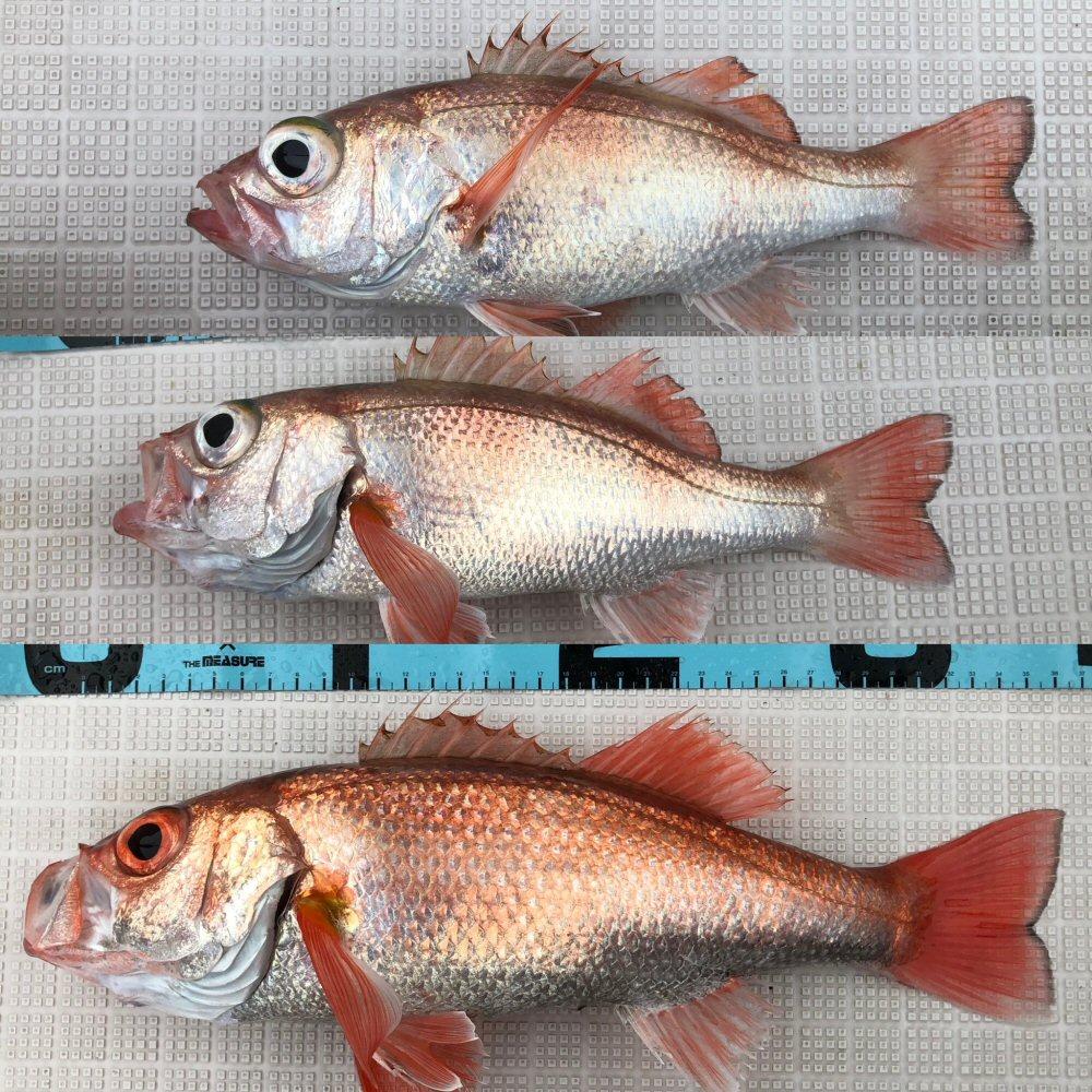 土砂降りの中で赤い魚を確保!